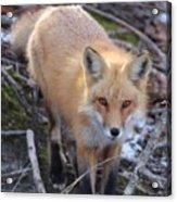 Fox Stare Acrylic Print