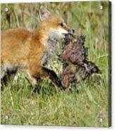 Fox With Dinner Acrylic Print