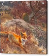 Fox With Hounds Acrylic Print