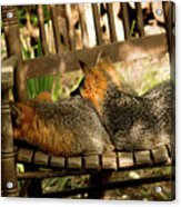 Foxes In A Chair Acrylic Print