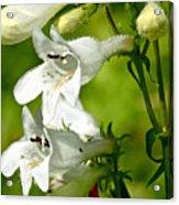 Foxglove Beardtongue - Penstemon Digitalis Acrylic Print