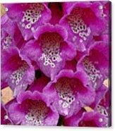 Foxglove Acrylic Print by Diane E Berry