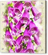 Foxglove Flowers Blank Note Card Acrylic Print