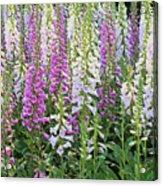 Foxglove Garden - Digital Art Acrylic Print