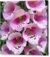 Foxglove Plant - Pink Bell Flowers. Macro Acrylic Print