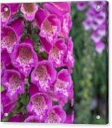 Foxgloves 1 Acrylic Print