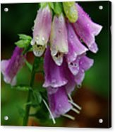 Foxgloves In The Rain Acrylic Print