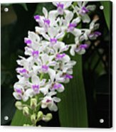 Foxtail Orchid Acrylic Print