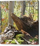 Foxy Stump Acrylic Print