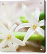 Fragile And Delicate  Acrylic Print