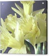 Fragile Daffodils Acrylic Print