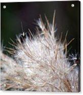 Fragile Seeds Acrylic Print