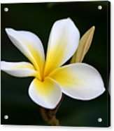 Fragrant Hawaiian Plumeria Maui Acrylic Print