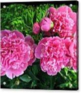 Fragrant Pink Peonies Acrylic Print