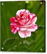 Fragrant Pink Acrylic Print