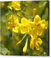 Fragrant Yellow Flowers Of Carolina Jasmine Acrylic Print