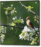 Framed Cardinals In Spring Acrylic Print