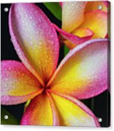 Frangipani After The Rain Acrylic Print