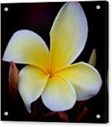 Frangipani  Also  Plumeria Acrylic Print