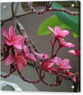 Frangipani Flowers Acrylic Print