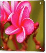 Pink Frangipani Plumeria Flowers Acrylic Print