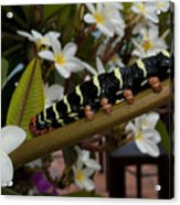 Frangipani Tree And Caterpillar Acrylic Print