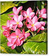 Frangipanis In Bloom Acrylic Print