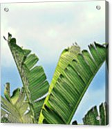 Frayed Palm Fronds Against Blue Sky Acrylic Print