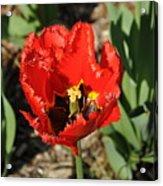 Frayed Tulip Acrylic Print