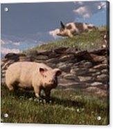 Free Range Pigs Acrylic Print