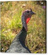 Free Range Turkey Acrylic Print