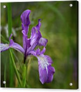 Free Ranging Wild Iris Acrylic Print