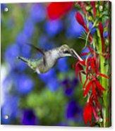 Freedom Hummingbird Acrylic Print