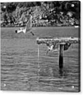 Freedom Is A Seagull Name Black And White Acrylic Print