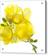 Freezia Bouquet Acrylic Print