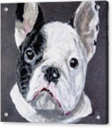 French Bulldog Close Up Acrylic Print