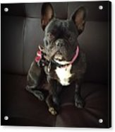 French Bulldog On The Couch Acrylic Print