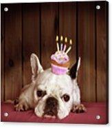 French Bulldog With Birthday Cupcake Acrylic Print by Retales Botijero