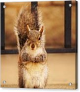 French Fry Eating Squirrel2 Acrylic Print