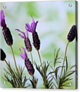 French Lavender Acrylic Print