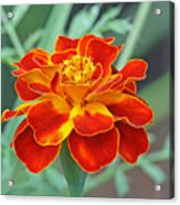 French Marigold Acrylic Print