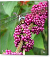 French Mulberry Acrylic Print