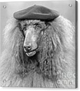 French Poodle Wearing Beret, C.1970s Acrylic Print