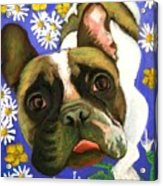 Frenchie Plays With Frogs Acrylic Print