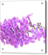 Fresh Lilac Acrylic Print