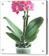 Fresh Pink Orchid In Pot Acrylic Print
