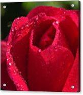 Fresh Rose Acrylic Print