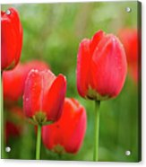 Fresh Spring Tulips Flowers With Water Drops In The Garden  Acrylic Print