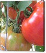 Fresh Tomatoes Ahead Acrylic Print