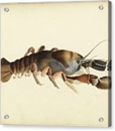 Fresh Water Crayfish Unsigned Sketches Attributed To William Buelow Gould Acrylic Print